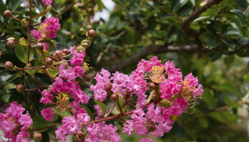 Crape myrtles flower in shades of pink, red, purple and white.