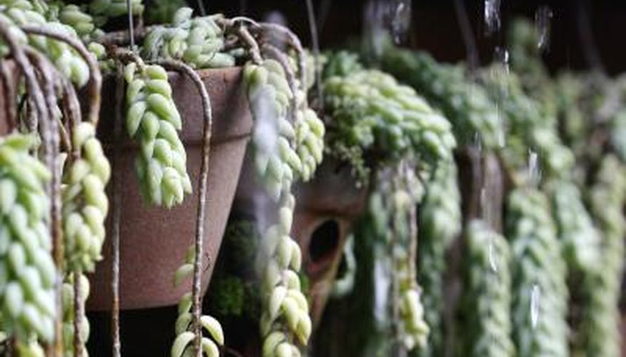 A close-up of hanging Burro's tail plants in pots.