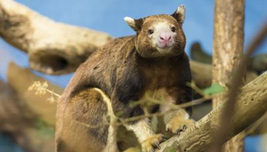 tree kangaroo in tree