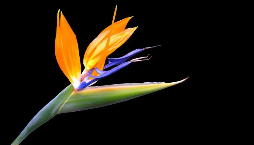 A close-up of a yellow bird of paradise flower.