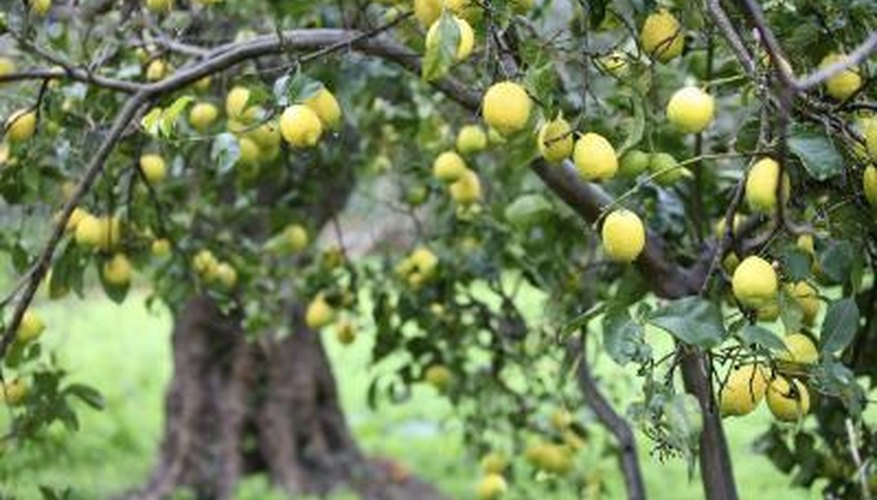 A meyer lemon tree is full of ripe lemons.