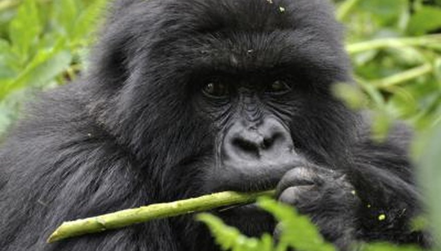 A close-up of a mountain gorilla.