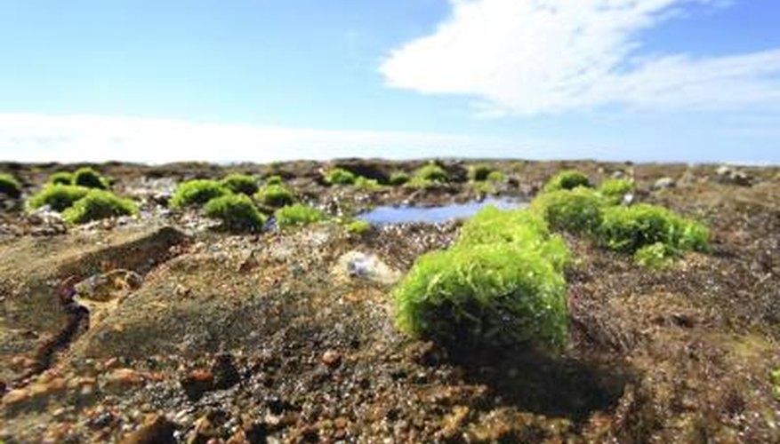 Sea lettuce that has grown onto a rock