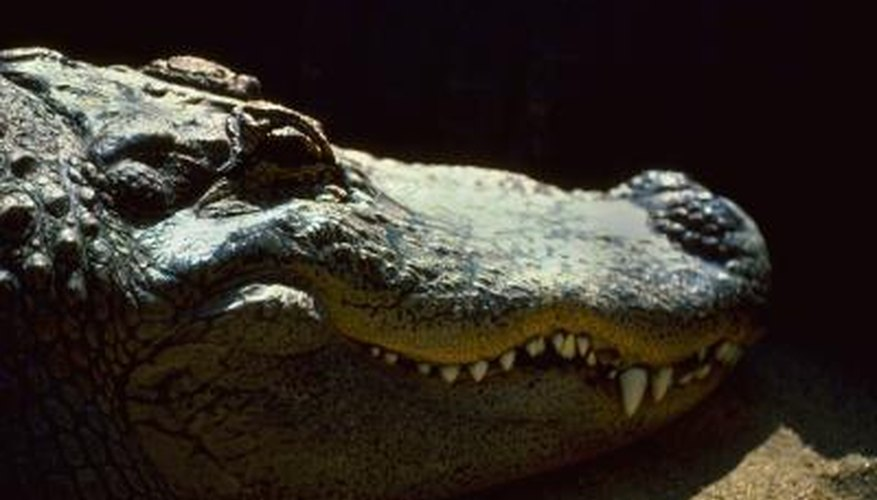Crocodiles have jaws that are made up of multiple bones.