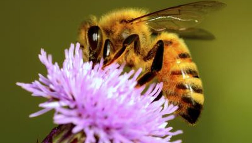 Honey Bee Information for Kids
