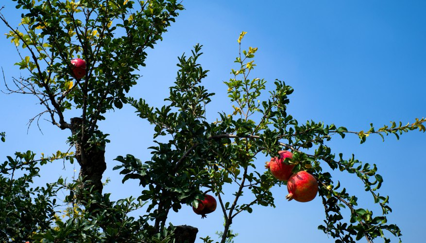 Pomegranate trees develop a weeping form.