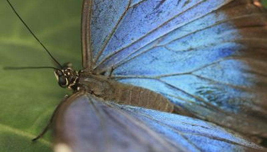 The beautiful Blue Morpho is an intriguing insect.