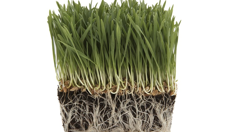 Healthy, white roots are easily seen against dark soil; unhealthy brown or black roots are harder to see.