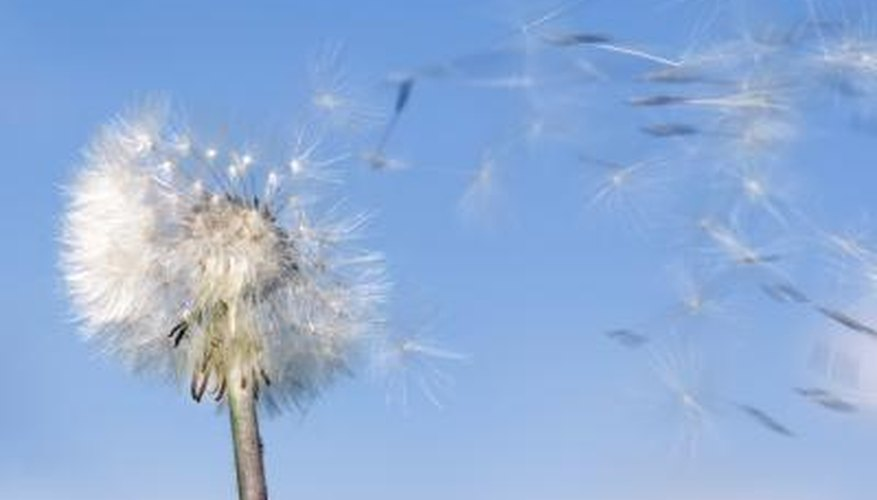 Dandelion in wind