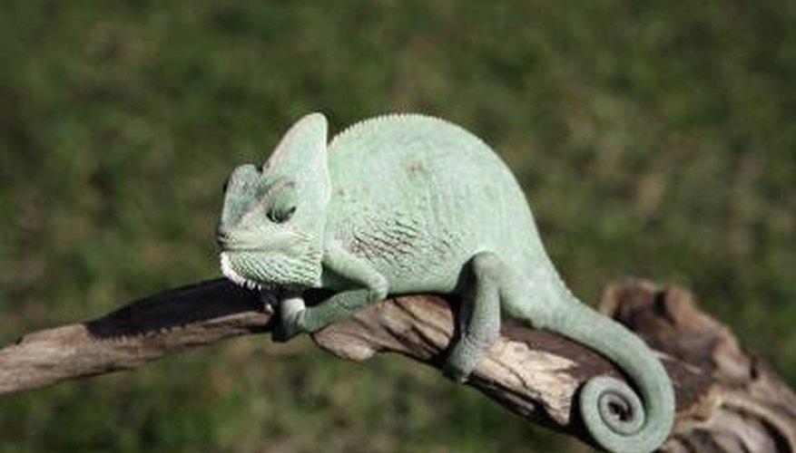 Closeup of a chameleon.