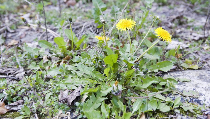 Perennial weeds such as dandelions (Taraxacum spp.), which thrive in U.S. Department of Agriculture hardiness zones 5 through 9, are more difficult to control with organic herbicides.