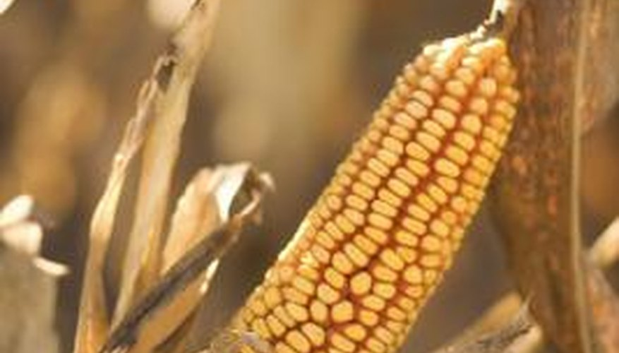Grain can be dried in the field or mechanically in a grain bin.