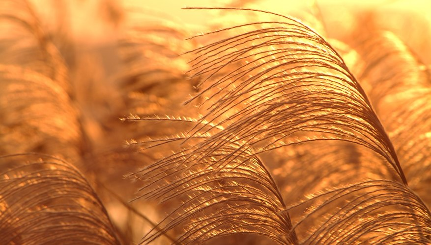 Ornamental grasses provide a delicate, graceful effect in garden displays.