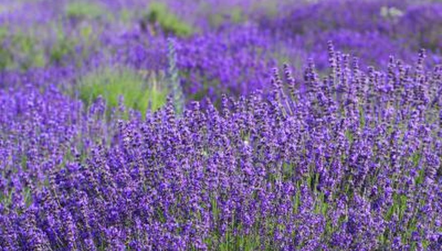 Combining different lavenders can prolong bloom time.
