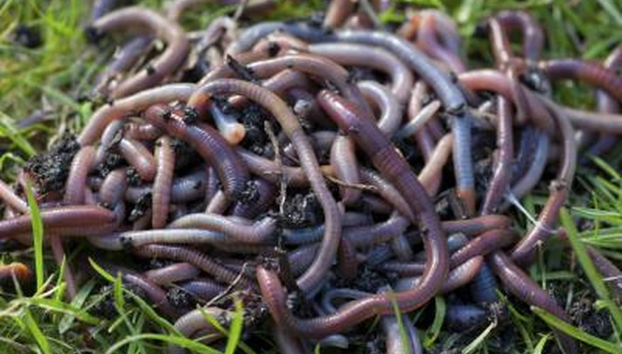 Worms are essential to the health of soil.