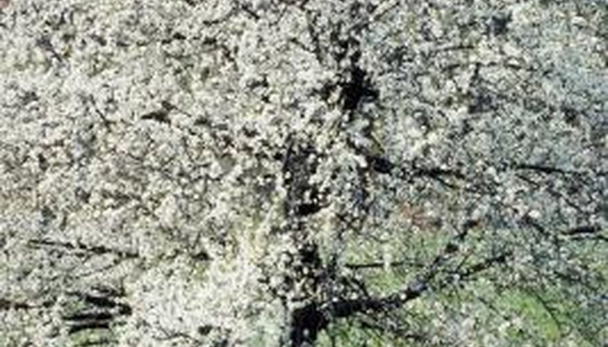 Dogwood is a hardwood tree notable for its white spring blossoms.