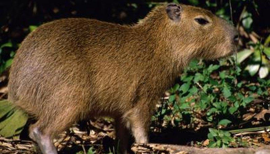A close-up of a capybara.