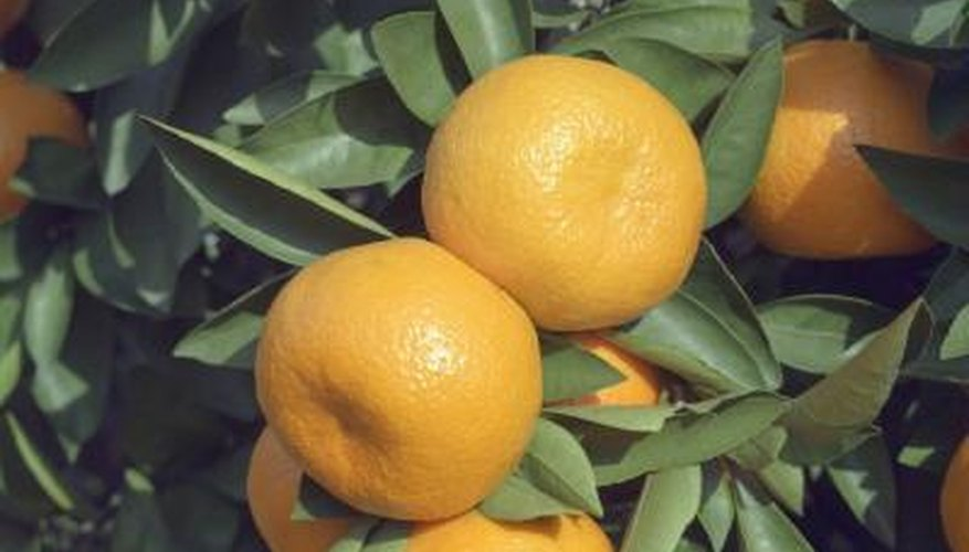 The Clementine is the smallest variety of mandarin oranges.
