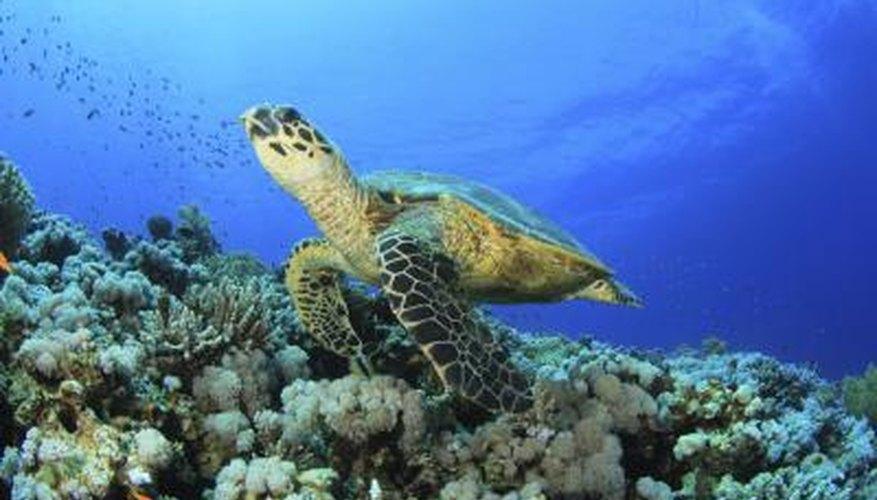 A sea turtle.