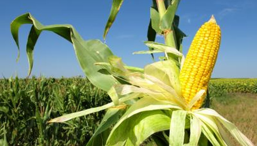 A corn plant is called a stalk.