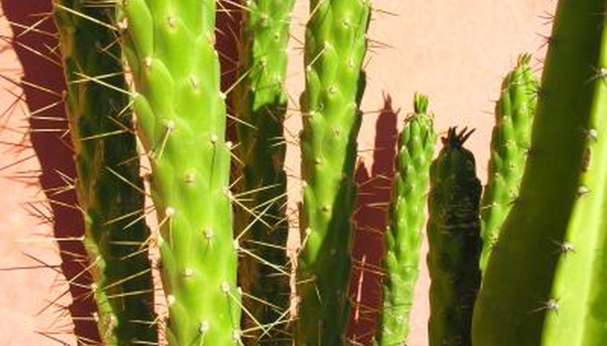 Cacti have spines instead of leaves.