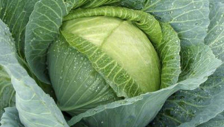 Cabbage in garden