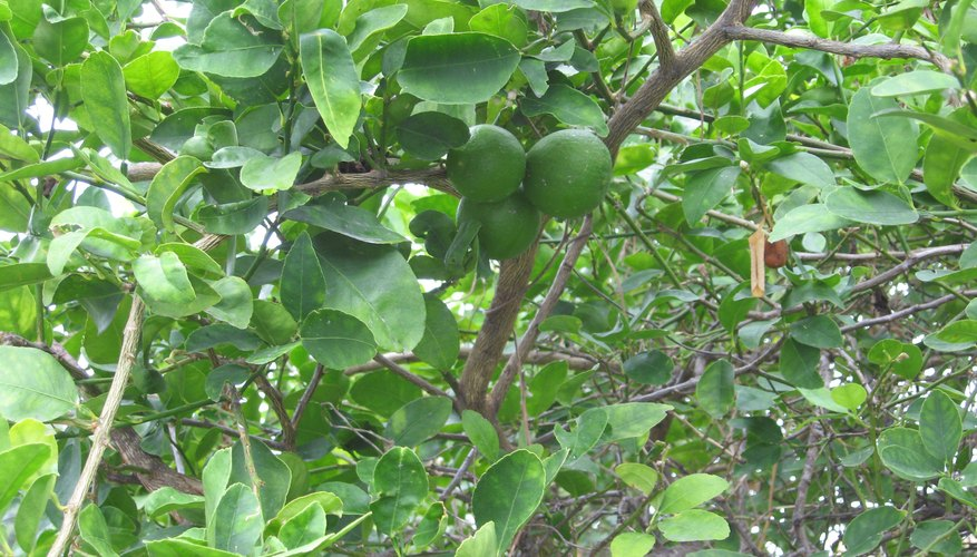 The green fruit hides among the evergreen foliage of the Key lime tree.