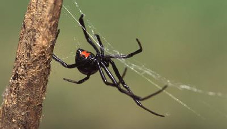 Black Widow Spider spinning a web