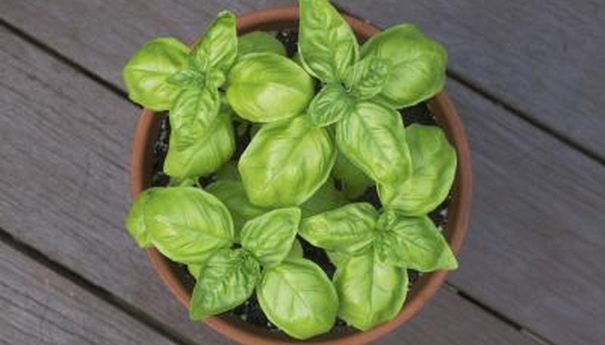 Basil needs well-drained soil and six to eight hours of sunlight.