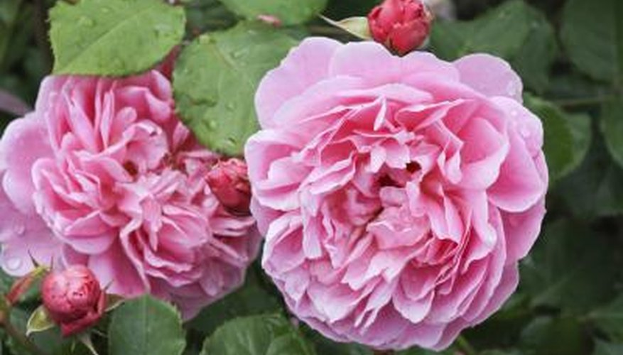 pink Knock Out roses