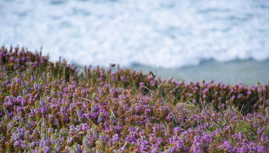 Sea lavender growing along a shore.