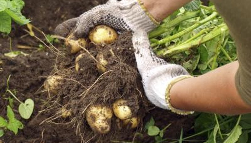 Harvesting young potatoes in a garden
