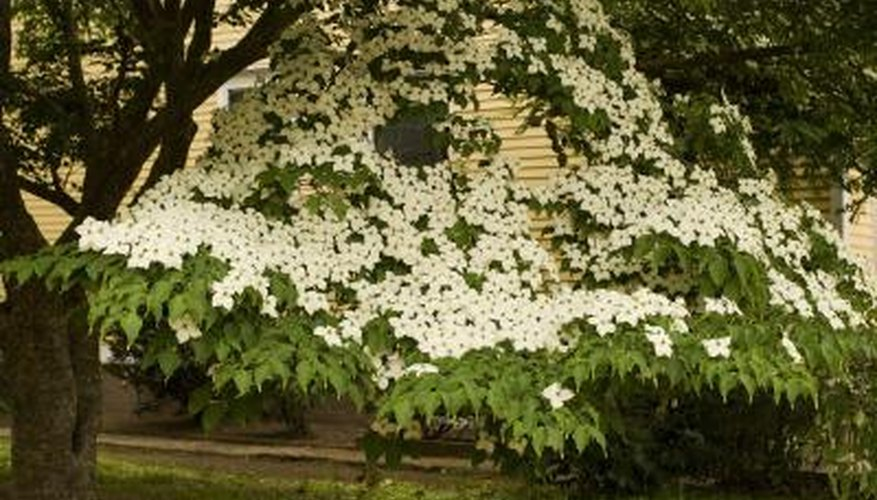 A dogwood tree blooms in front of a house.