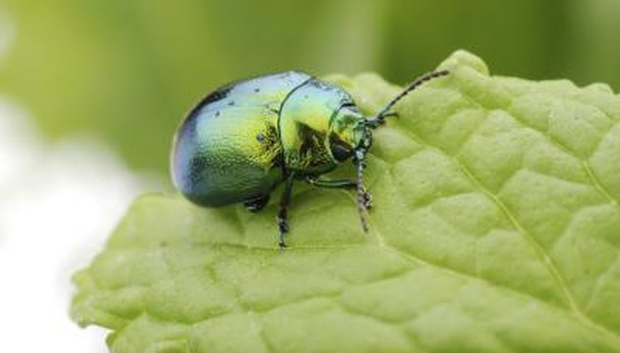 A brilliant colored beetle on a green leaf.