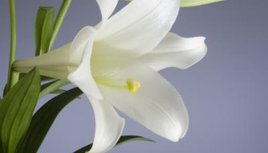 Some assert that the word 'shoshannah' in the bible is referring to the white lily.
