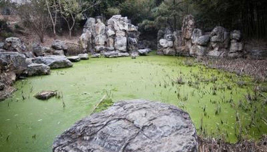 Floating pondweed
