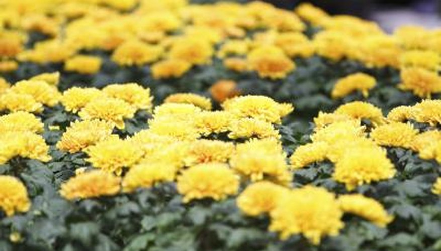 Mums Have Blooms And Color That Last For Weeks When We Think Of October Flowers
