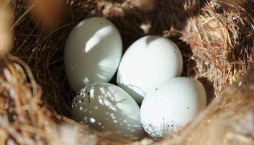 eggs in bird nest