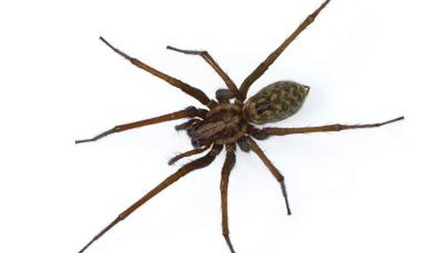 A Tegenaria domestica spider.