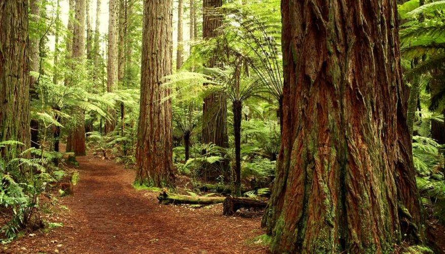 The Redwood forest in California.