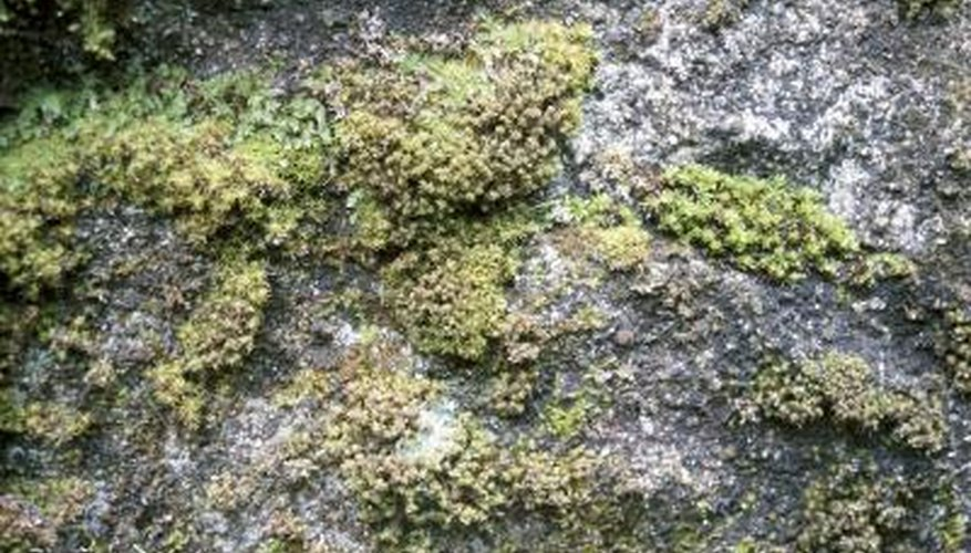 Liverworts growing on rock