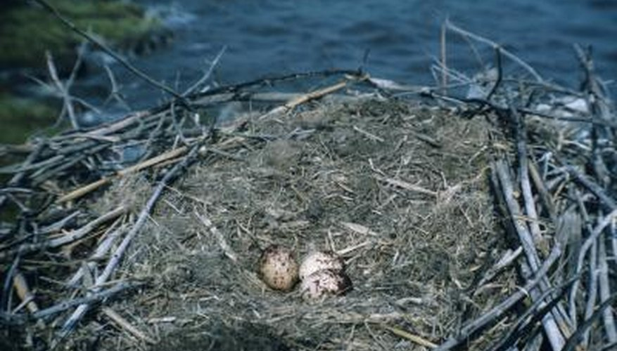 Large bird nest in North America.