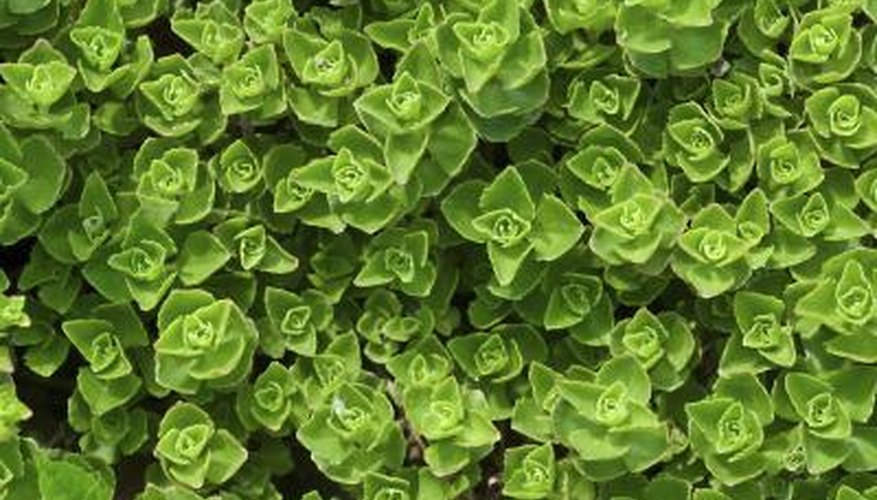 An overhead view of a stonecrop plant.