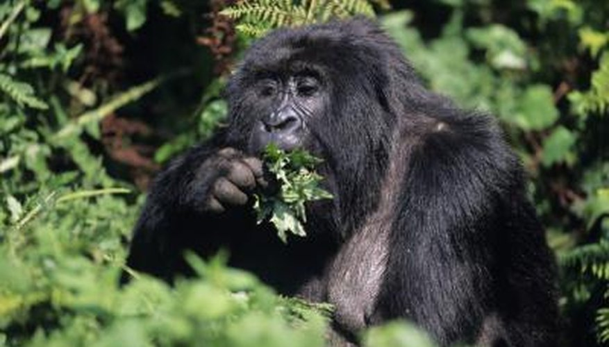 A mountain gorilla eats leaves.