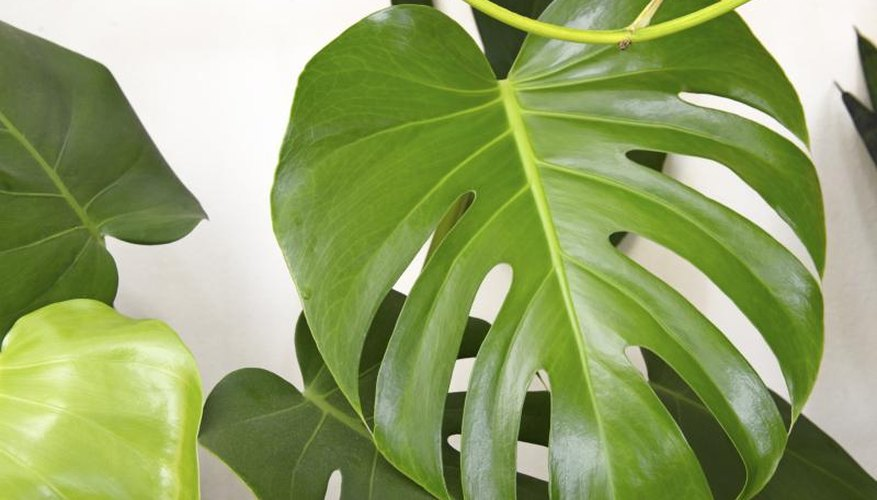 A tropical windowleaf plant growing in a home.