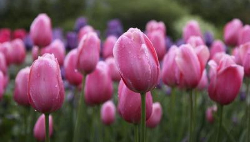 pink tulips with dew