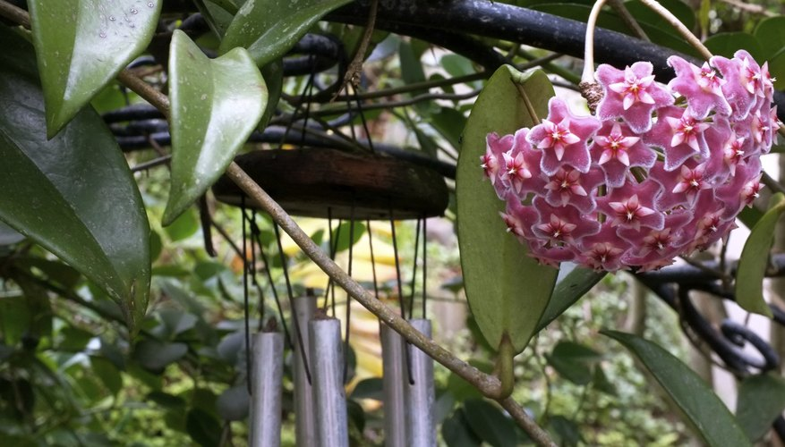 Wax plant is a succulent vine that blooms with pink or white flowers.