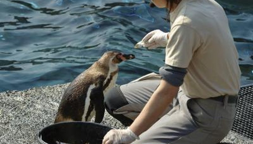 A penguin is hand fed a fish at the zoo.