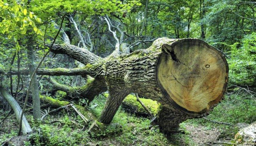 White oak tree that has been chopped down.