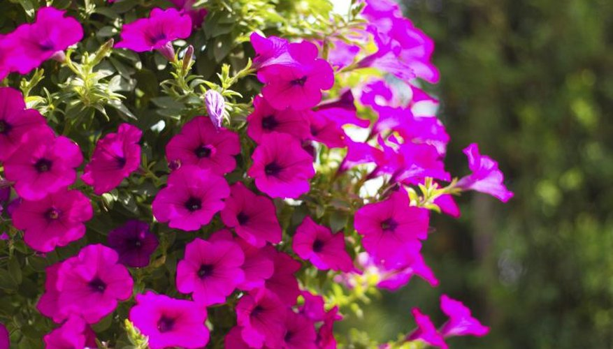 Deep pink petunias spreading up a trellis.